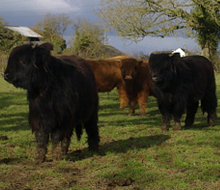 two lovely black yearling heifers